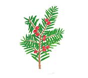 주목 <i>Taxus cuspidata</i> Siebold & Zucc.