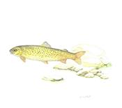 열목어 <i>Brachymystax lenok tsinlingensis</i>